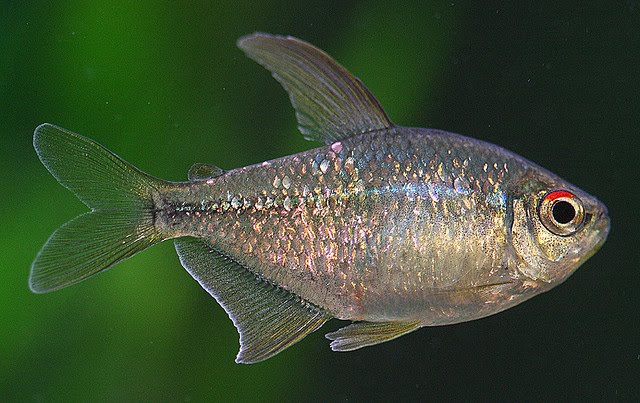 Diamond Tetra Moenkhausia pittieri Exotic Tropical Ornamental Fish ...