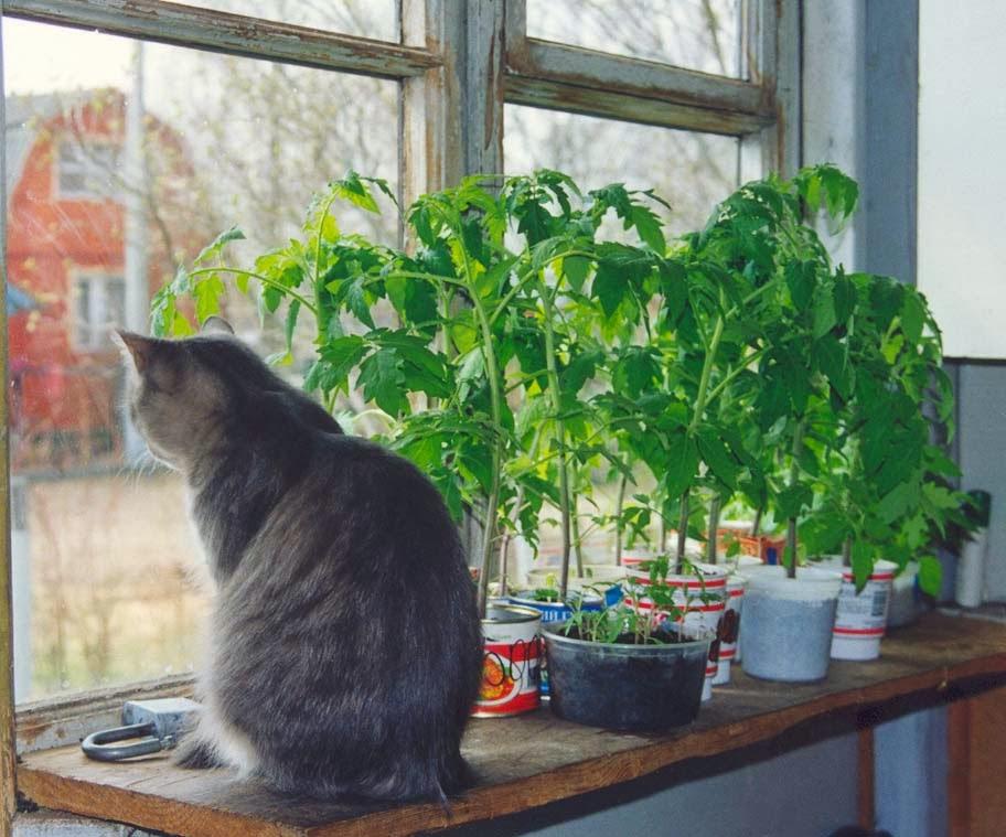 как вырастить рассаду,как подсвечивать рассаду