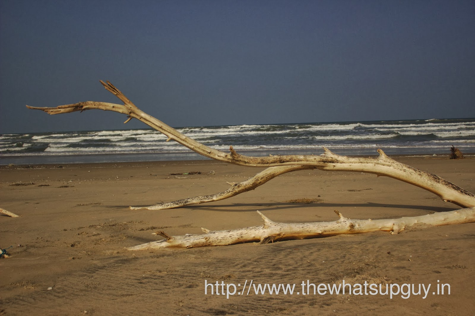 Fallen Tree At Pichavaram Beach In Pondicherry