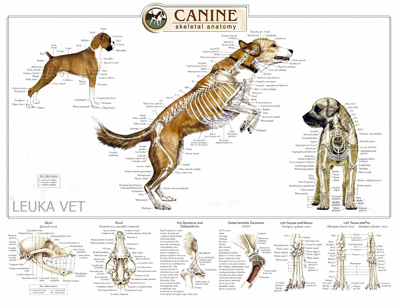 Centro Veterinario Leuka: La Anatomía del Perro