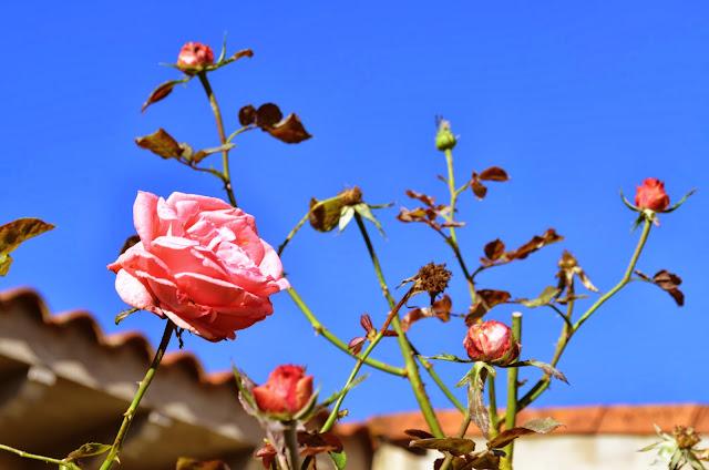 rosas de otoño by c. araus