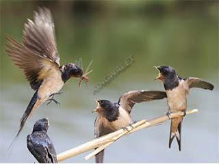 sifat burung walet yang perlu di pelajari