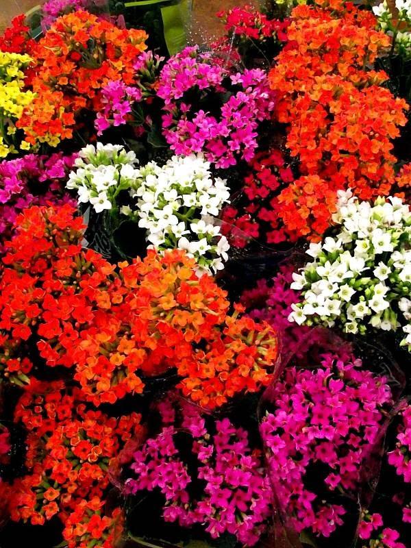 Kalanchoe significa a flor da fortuna e da felicidade