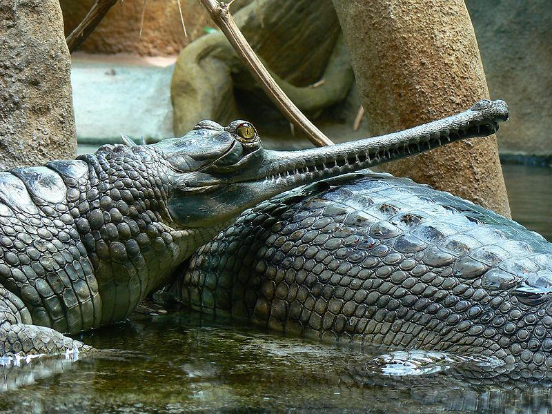 Crocodile vs alligator vs caiman vs gharial - photo#7