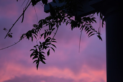 silhouetted wisteria at sunset