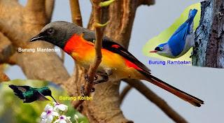 3 Jenis Burung Terbaik untuk Memaster Cendet/Pentet