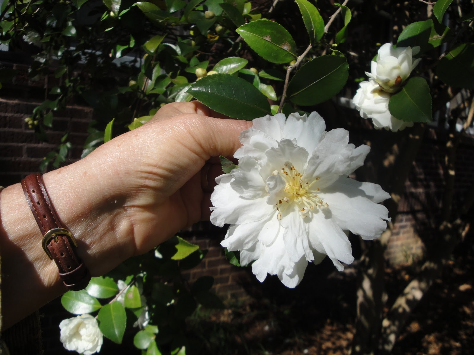 A camellia close-up.