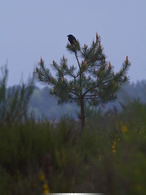 Kraai op de uitkijk - Crow at watchpost