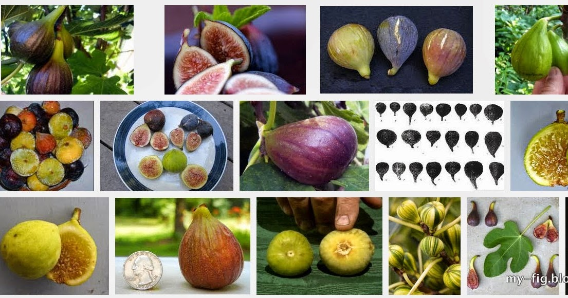 Synonym other names and origin of selected fig ficus carica varieties tin oh tin - Figuier blanche d argenteuil ...
