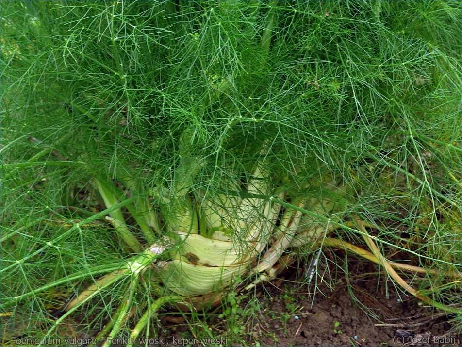 Foeniculum vulgare - Fenkuł włoski, koper włoski