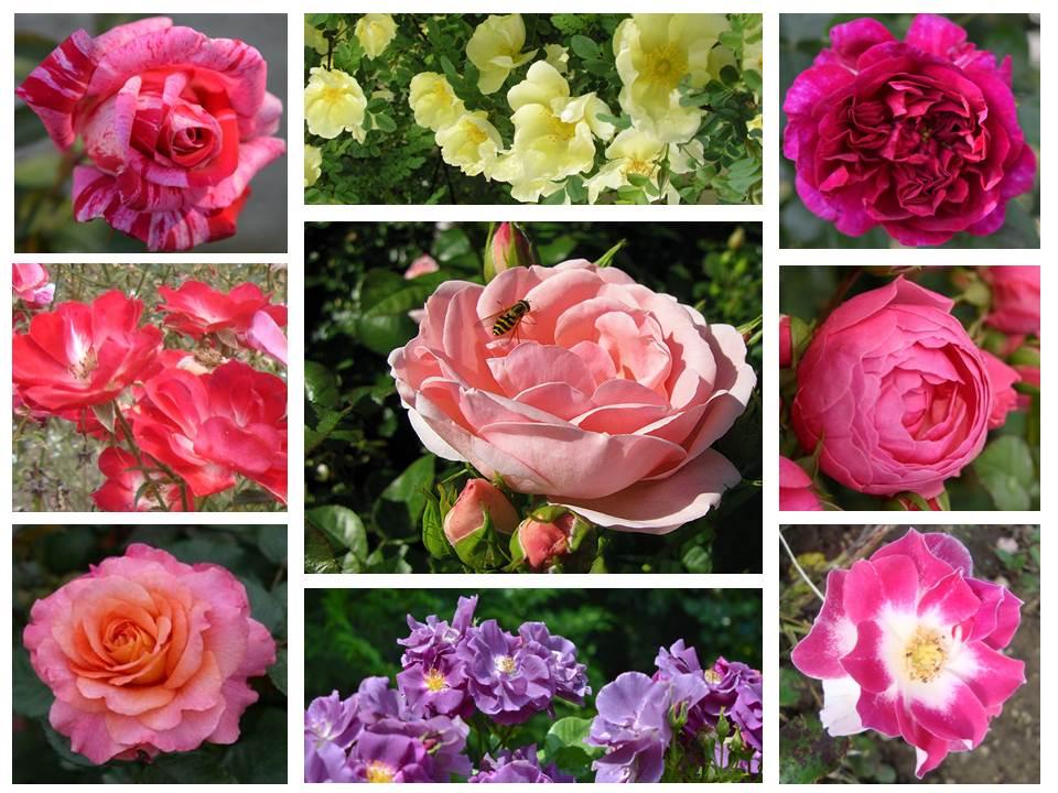 Розите