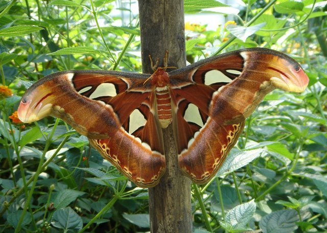 Largest moth in the world - photo#25