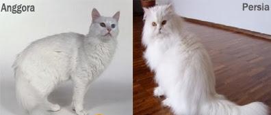 Kucing Anggora dengan Persia