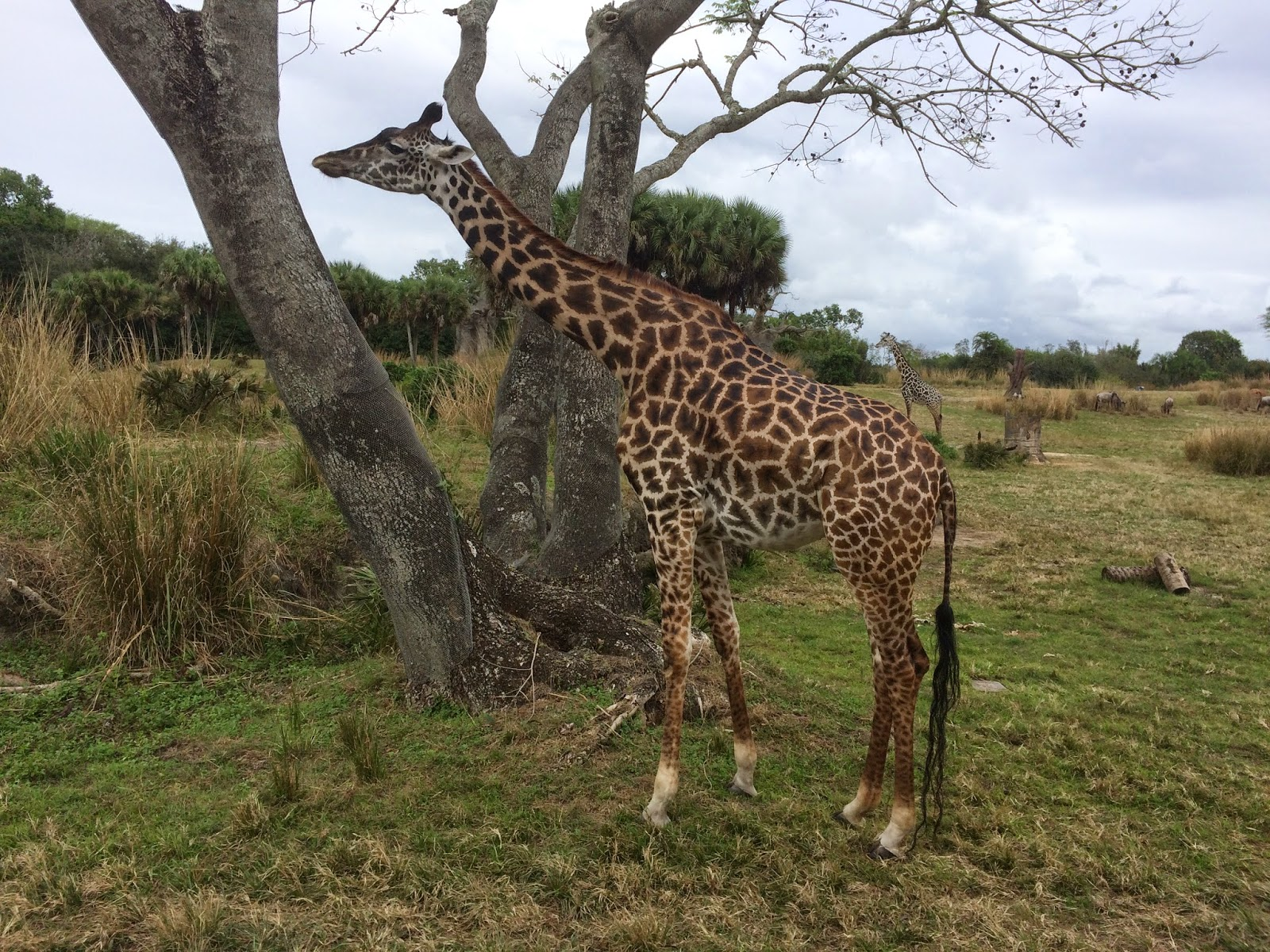#ivysvariety giraffe at Animal Kingdom New Year's Resolution 2015