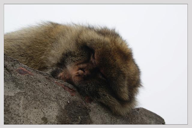 Mono cansado