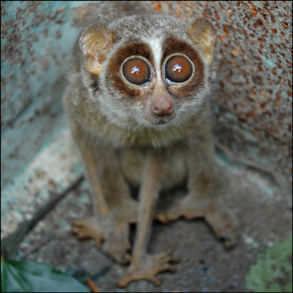 Accidentally Excellent: PURRSday [the slender loris]