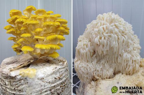 Setas de ostra pequeña o cuerno de la abundancia de la Asociación profesional de Cultivadores de Champiñón y Seta en las Jornadas Gastronómicas de la Verdura de Calahorra 2013