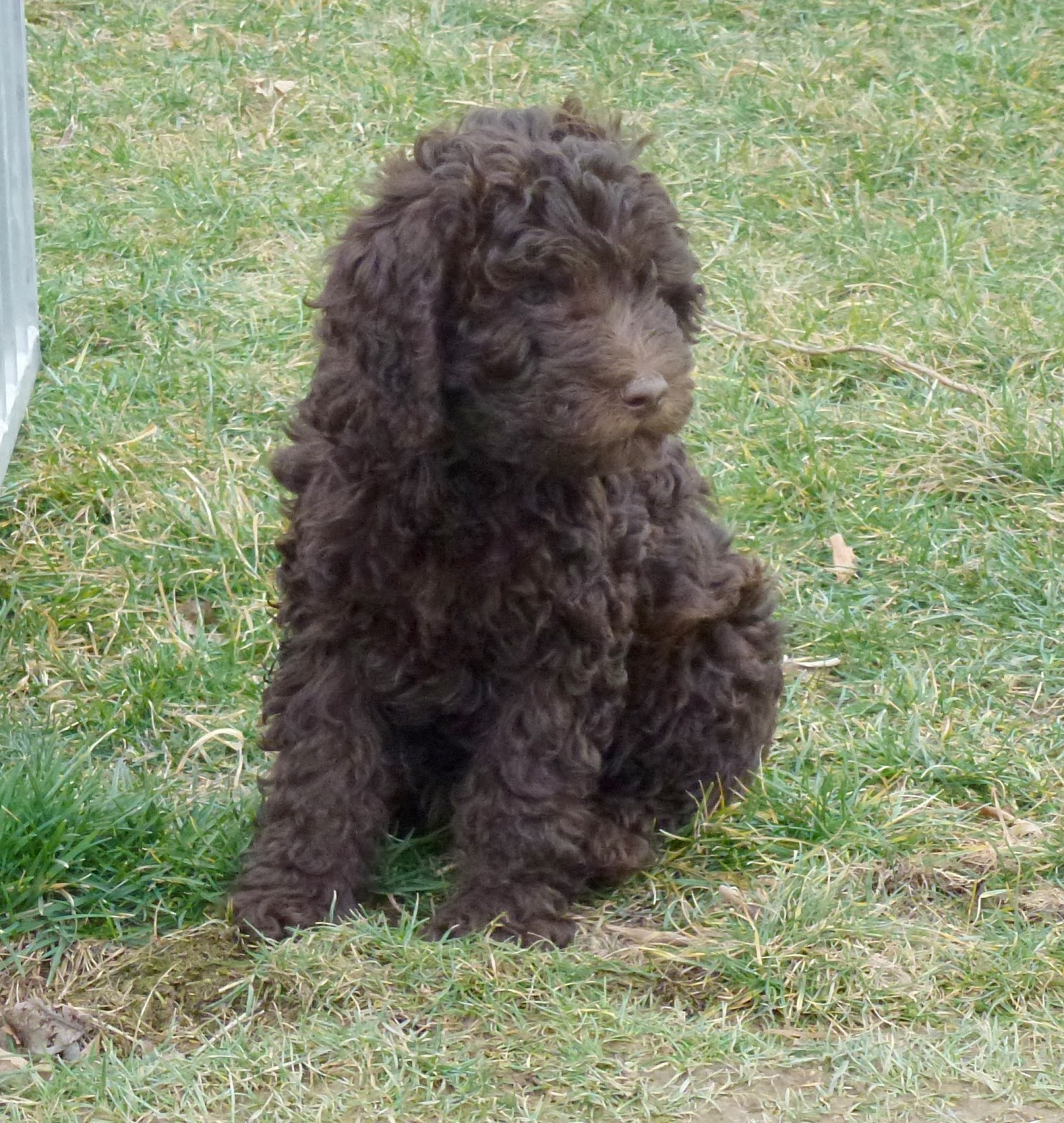 Light brown portuguese water dog - photo#13
