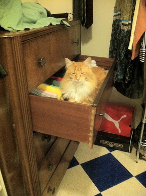 Maine coon sleeping in a drawer