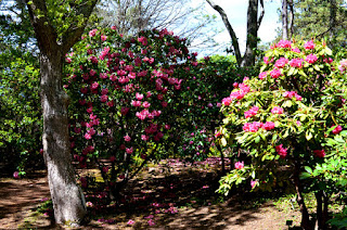 Dexter Rhododendron garden at Heritage Museums and Gardens