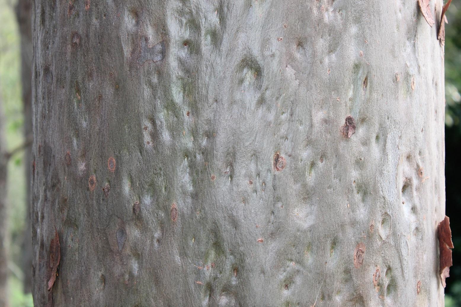brisbane backyard naturalist gum trees at my place corymbia