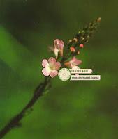 VERBENA - Vervain - Verbena officinalis