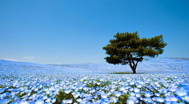 Fascinantes campos azules, no son de otro planeta son de aquí de la Tierra Azules1