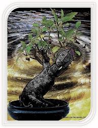 """En """"Mi mundo manual y artístico"""", bonsai La sombra del Ombú"""