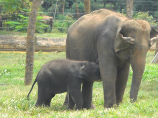 Eléphants Pinnawela Sri Lanka