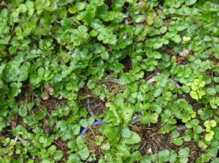 Tumbuhan Purwaceng atau purwoceng