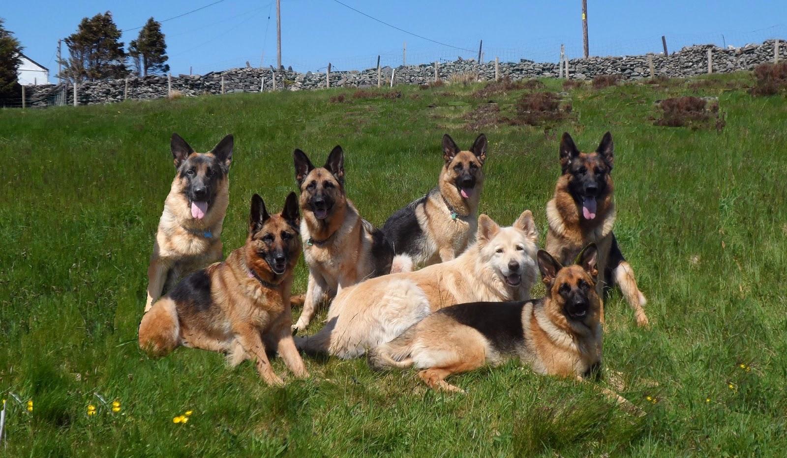 Những đặc điểm cơ bản của chó Becgie Đức - GERMAN SHEPHERD DOG ( GSD )