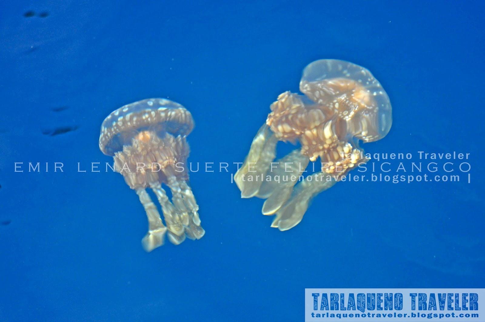 Sohoton Jellyfish