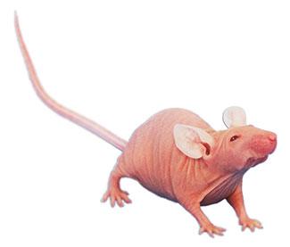 「ヌード」マウス (nu/nu, 体毛と胸腺が欠如)