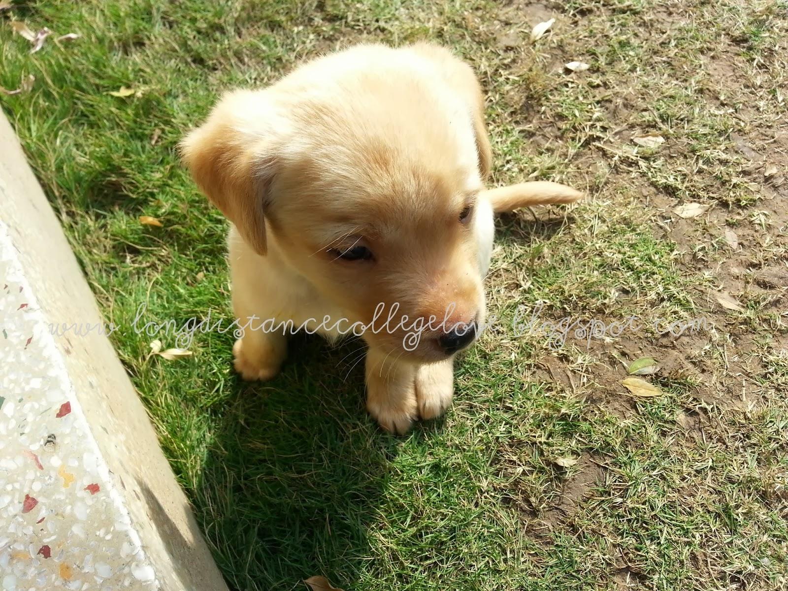 labrador, labrador pu, cute puppies, labrador puppy, one month old labrador, cute golden labrador pup