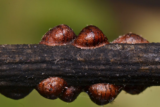 close-up photo of oak lecanium scale insects