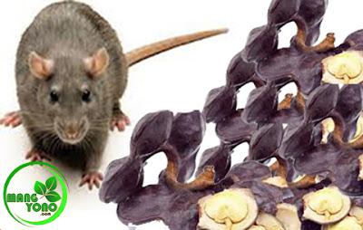 Cara mengusir tikus dengan buah jengkol