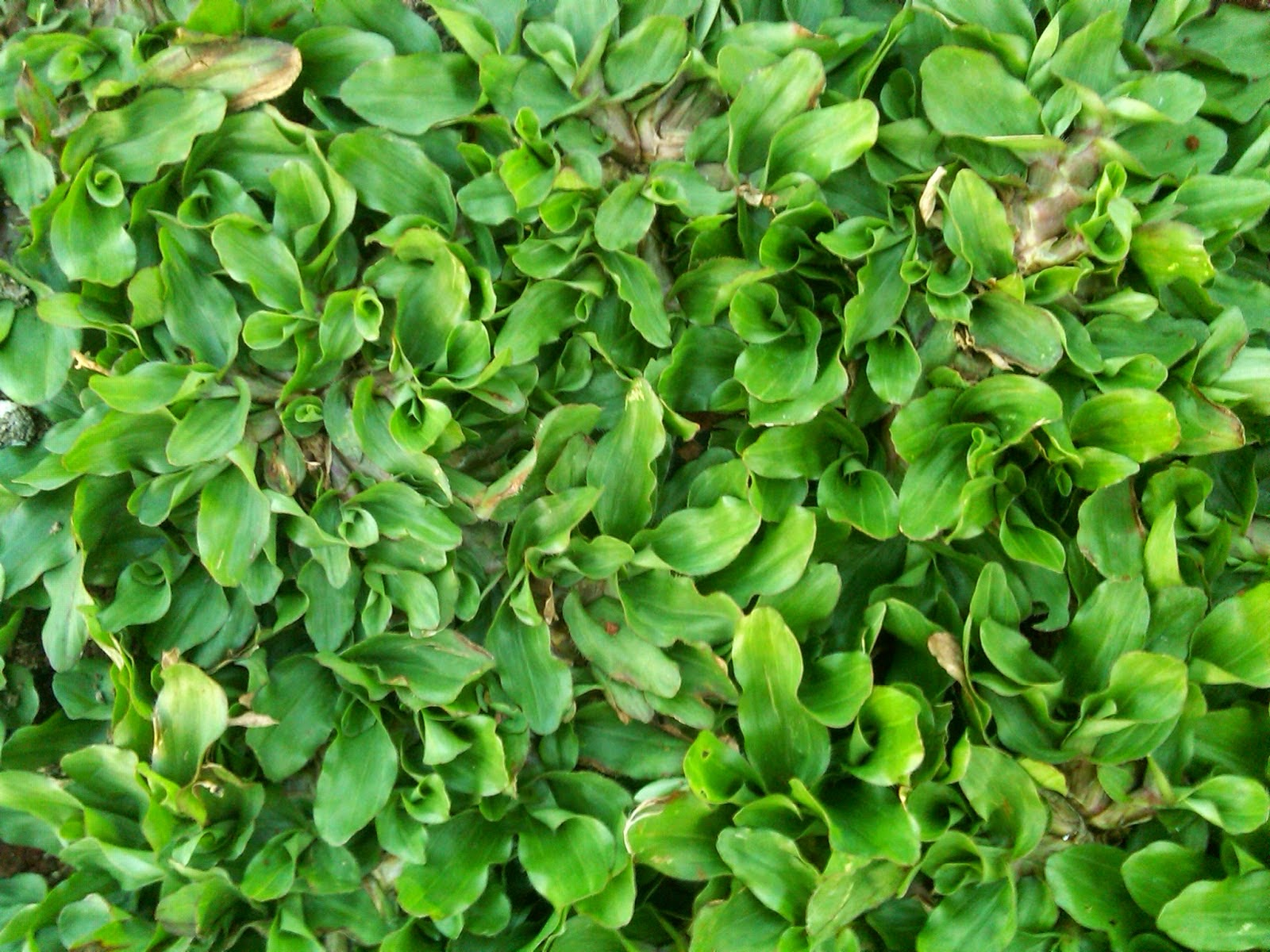 Jual rumput gajah mini super lentik  | jasa tanam rumput | jasa desain taman | suplier tanaman
