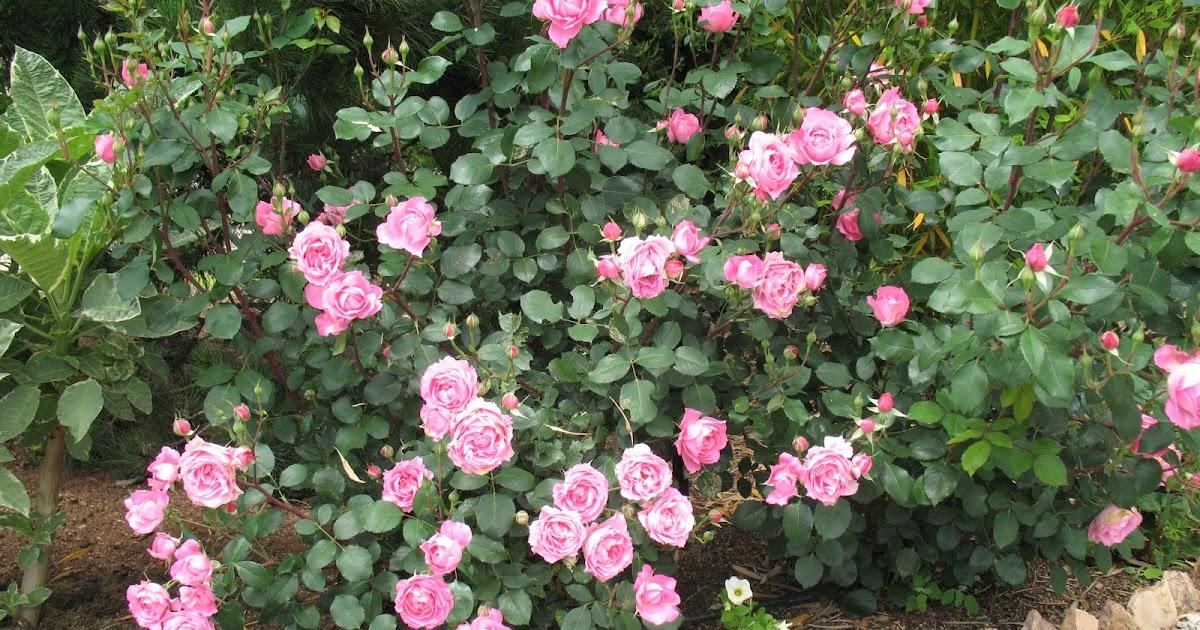Roses du jardin ch neland rosier sylvie vartan for Au jardin de sylvie
