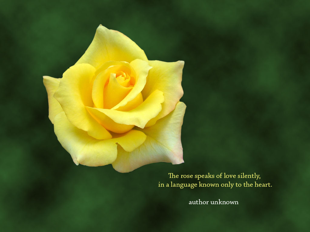 inspirational desktop wallpaper yellow rose desktop wallpaper