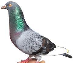 Tips Merawat Dan Mencegah Penyakit Burung Merpati Yang benar Dan Tepat