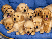 Golden Retriever Puppies Photos. Golden Retriever Pictures