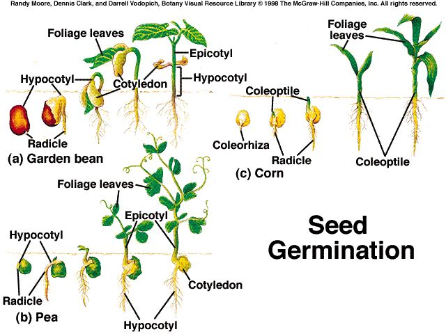 development of seed The grass seed or caryopsis originates from a monocarpellary ovary with a single ovule and contains the main storage tissue, the endosperm for most grass crop species (ie cereals), the value of the crop is largely determined by the endosperm, both in quantitative and qualitative terms the.