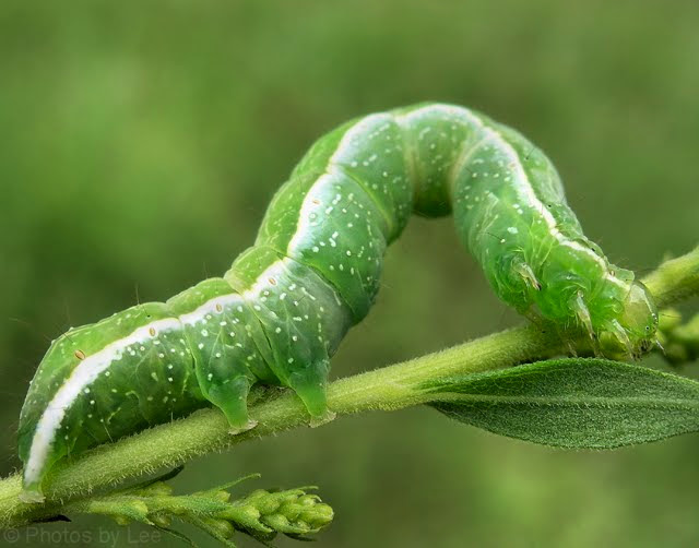 How to control Looper Caterpillars