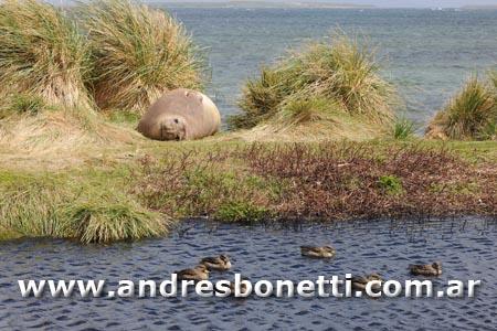 Elefante Marino del Sur - Southern Elephant Seal - Isla Carcass - Islas Malvinas - Falkland Islands - Andrés Bonetti
