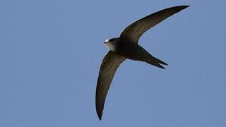 ave en vuelo