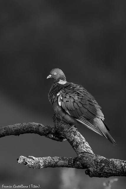 Paloma torcaz (Columba palumbus)