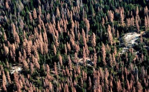 Cento e dois milhões de árvores morreram devido a seca na Califórnia