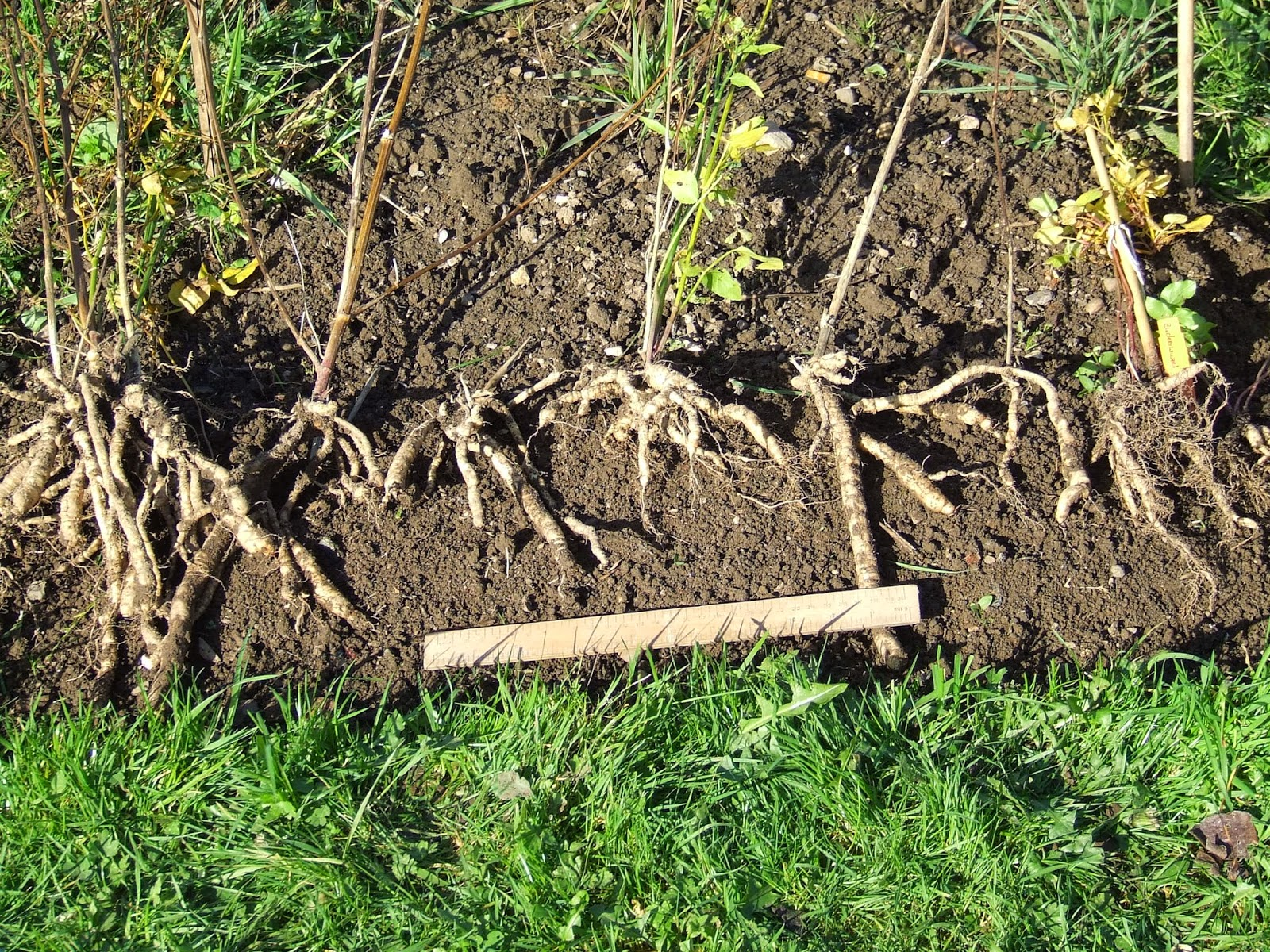 This year's skirret roots