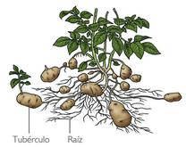 tallos subterraneos bulbos tuberculos y rizomas