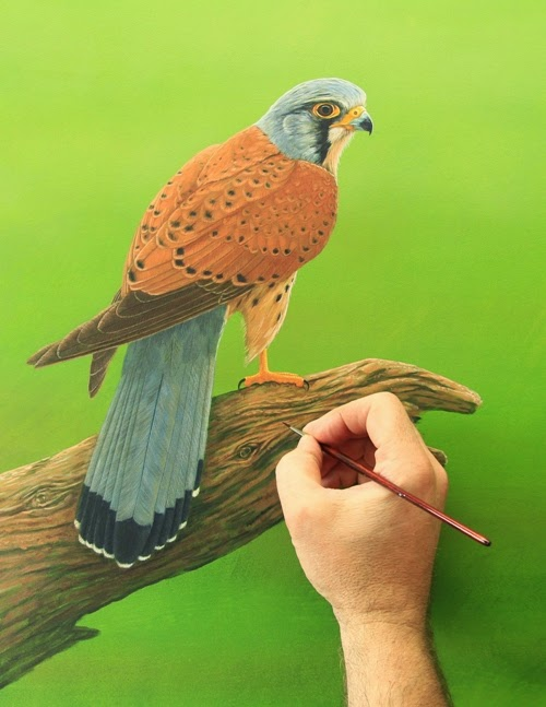 Kestrel Painting - Falconry Forum (IFF)